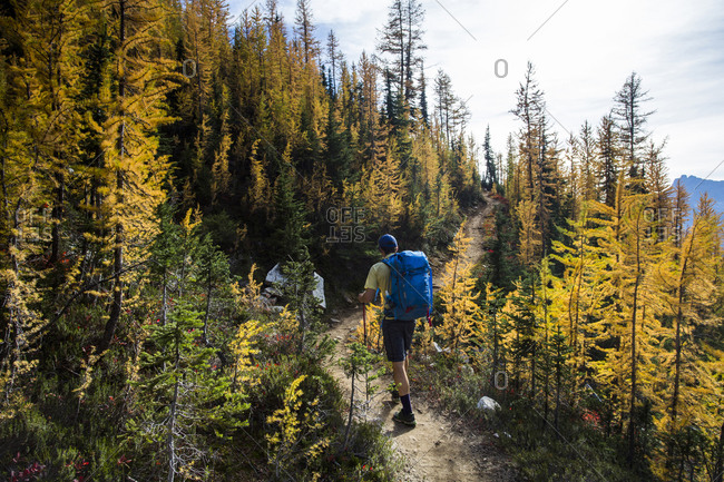 A young man hikes through the larch trees in the Pasayten Wilderness on the Pacific Crest Trail in Washington