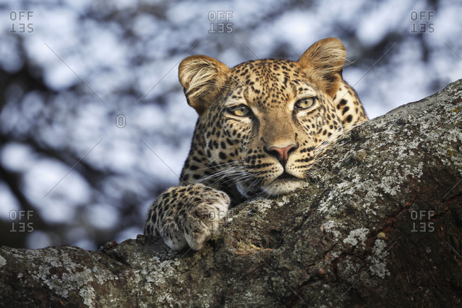 Leopard lying on a branch