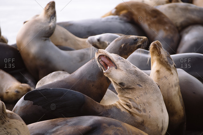 Two sea lions fight in a herd at Moss Landing Harbor