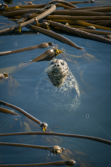 A harbor seal floats vertically in a kelp bed