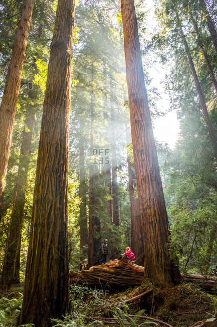 Hiker sitting under tall trees in forest