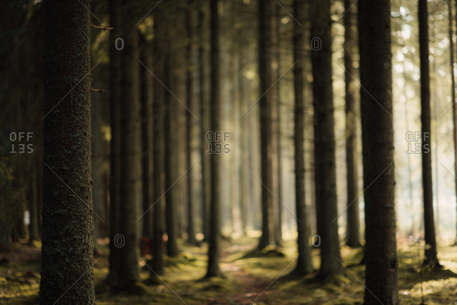 Selective focus of trees in a dense forest