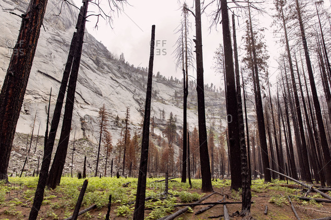 Trunks of burnt trees at the base of a mountain