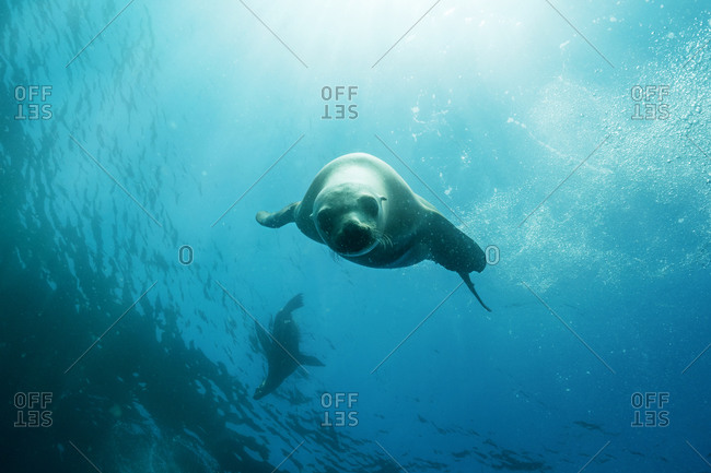 Seal swimming underwater in a blue sea