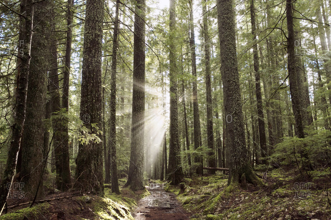 Sun rays beaming between trees in a forest