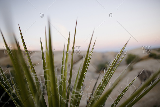 Plant with spiky leaves near sea
