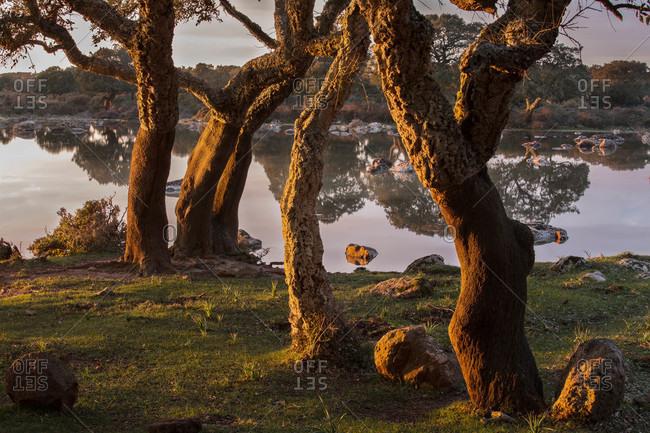 Cork trees in Sardinia, Italy