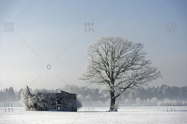 Frost-covered tree besides decayed barn