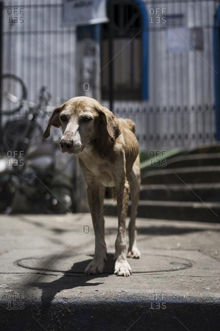 Portrait of scrawny dog at a favela, Rio de Janeiro