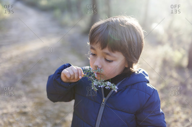Little boy smelling blossoming twig of rosemary