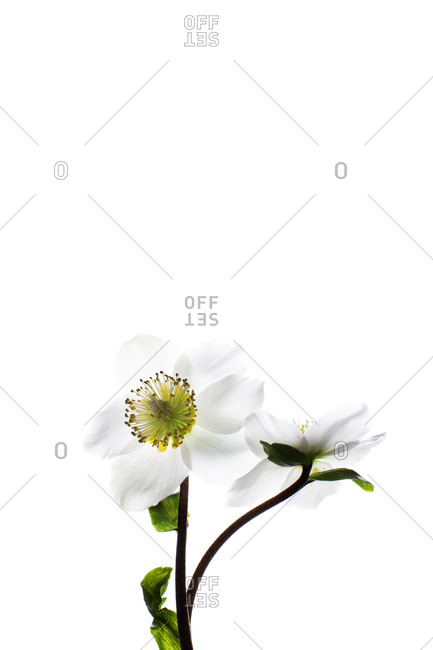 Yellow and white flowers on a white background