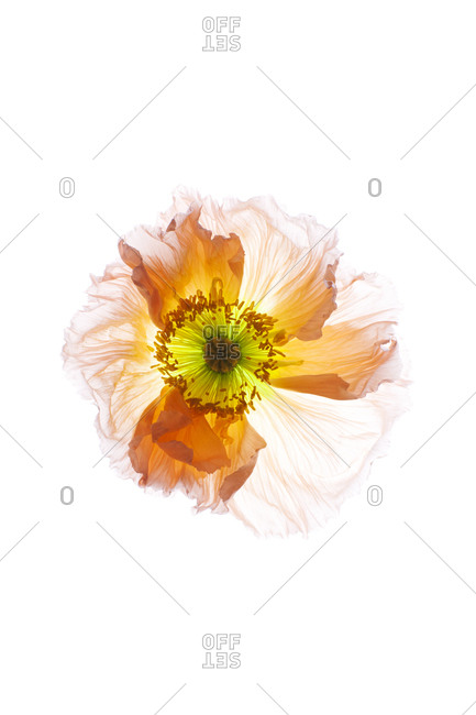 Feathery orange flower blossom - Offset