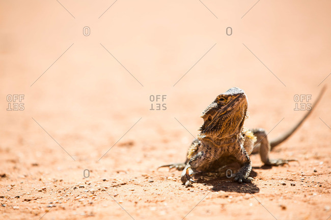 A bearded dragon in desert
