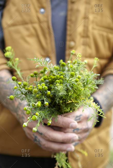 Tattooed man holding freshly picked chamomile