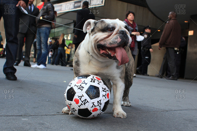 New York City, New York - April 28, 2012: A dog playing with a football marked with I love NY in Time Square, New York