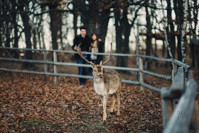 Couple watching a young deer in an enclosure