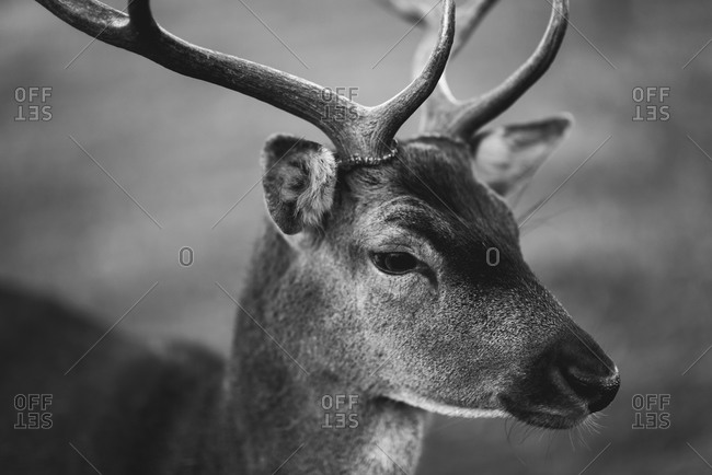 Close up of a young male deer