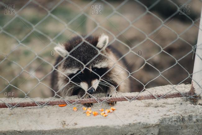 Raccoon in an enclosure eating grains of corn