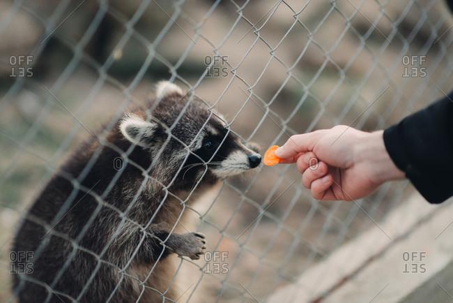 Hand of a man feeding a raccoon