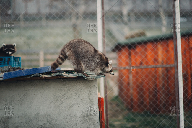 Raccoon in an enclosure preparing to leap from a shed