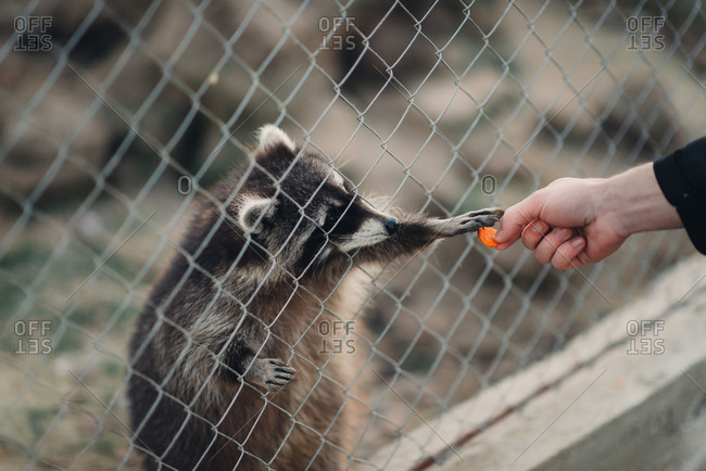 Raccoon reaching through a fence to take food from a man