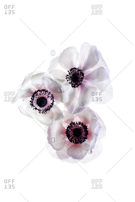 White anemones on a white background