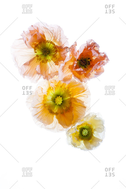 Bright poppies on a white background