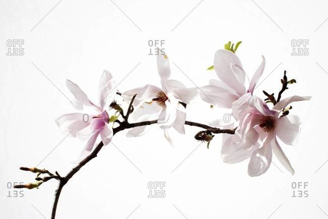 Japanese magnolias on a white background