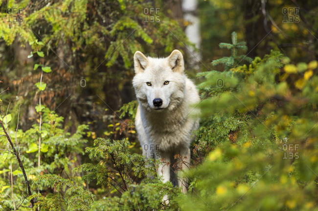 Grey wolf in Canadian Rockies