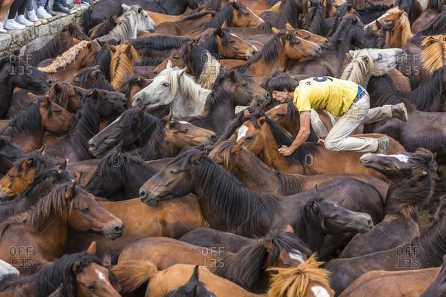 Sabucedo, Galicia, Spain - July 4, 2015: A man rounding up wild horses