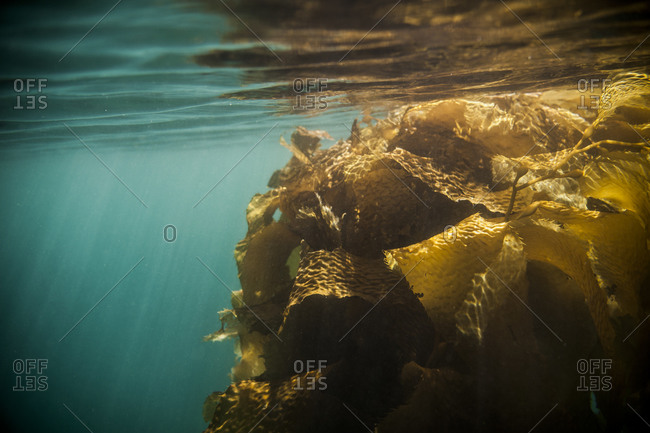 Underwater view of kelp bed