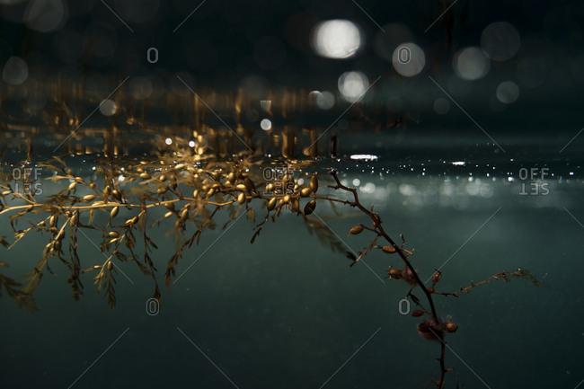 Kelp bed underwater