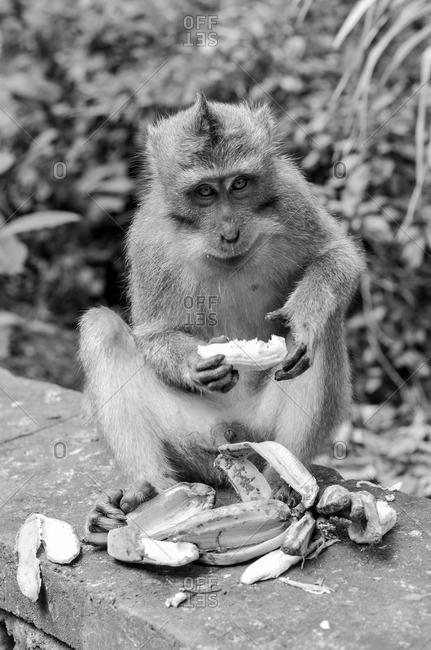 Monkey eating fruit in Indonesia