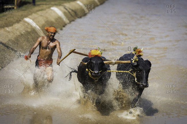 Man running through the water with a pair of buffalo in a traditional Kambala race in Karnataka, India