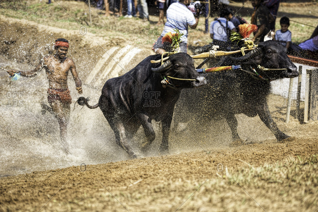 Pair of water buffalo running out of the water during a traditional Kambala race in Karnataka, India