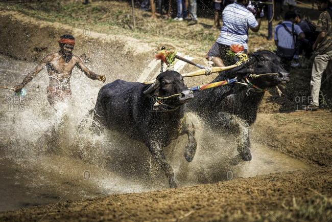 Pair of water buffalo splashing through the water during a traditional Kambala race in Karnataka, India