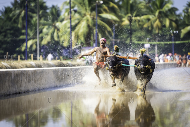 Man running with and steering a pair of water buffalo in a traditional Kambala race in Karnataka, India