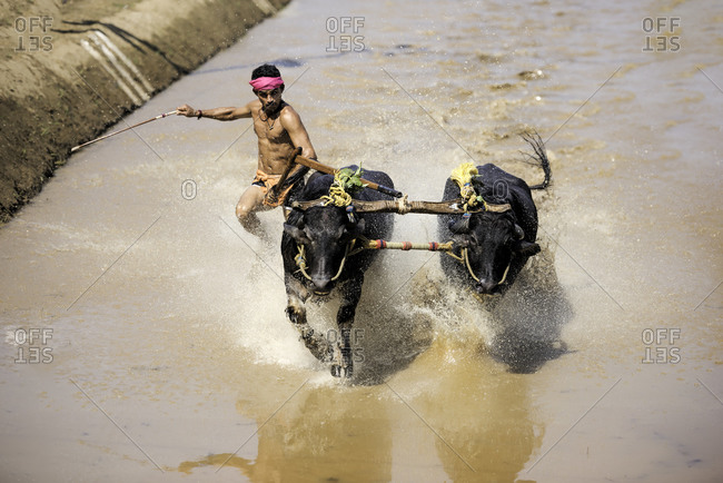 Man guiding a pair of water buffalo in a traditional Kambala race in Karnataka, India