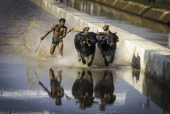 A pair of water buffalo and a man running through the water during a traditional Kambala race in Karnataka, India