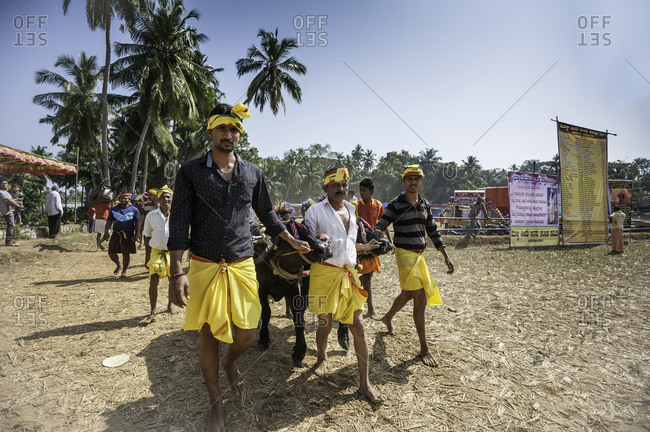 Many people leading water buffalo in preparation for a traditional Kambala race in Karnataka, India