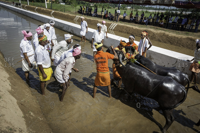 Many men looking at a pair of water buffalo as they are being prepared for a traditional Kambala race in Karnataka, India