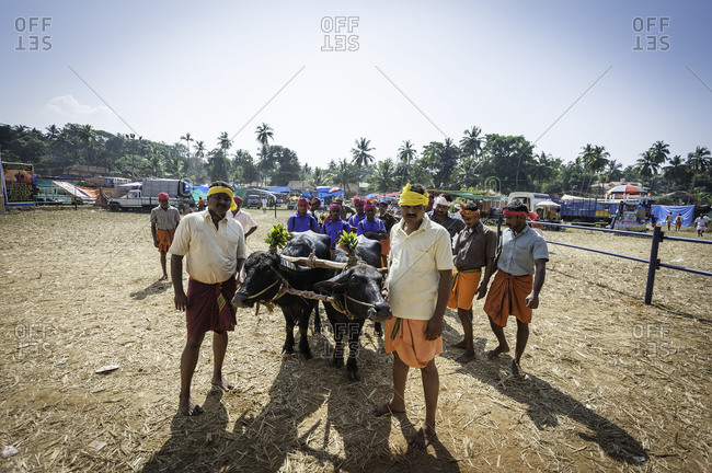 Two water buffalo and many people prepared for a traditional Kambala race in Karnataka, India