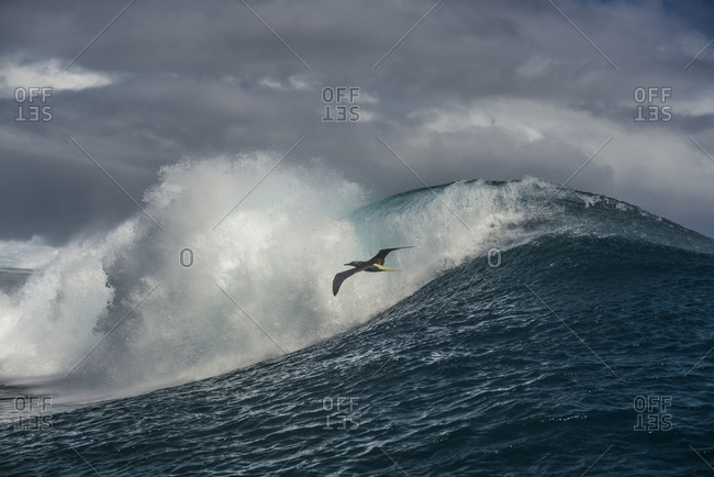 Bird flying above a breaking wave in the Pacific Ocean by Moorea Island, French Polynesia