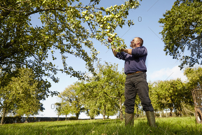 A man harvesting apples from the boughs of an apple tree in a cider orchard