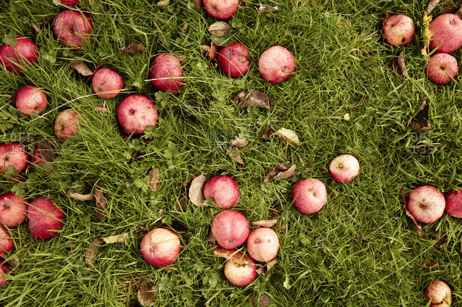 Overhead view of apples lying in the grass