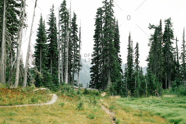 Trails leading into an evergreen forest