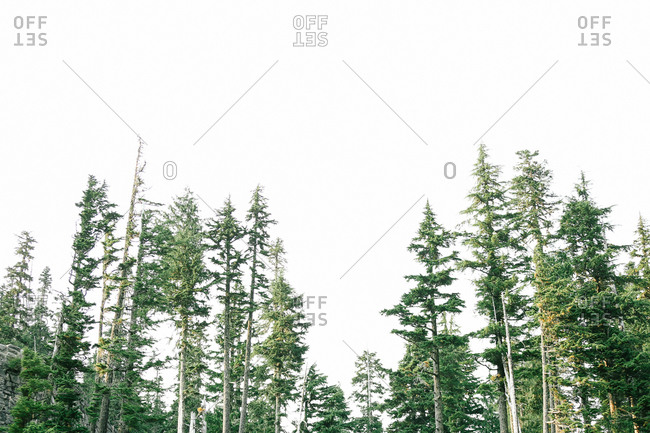 Tops of evergreen trees and a white sky