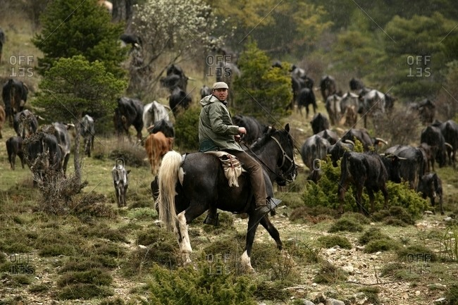 Guadalajara, Cuenca, Spain - May 12, 2008: Man herding cattle down from the cold lands of Castilla