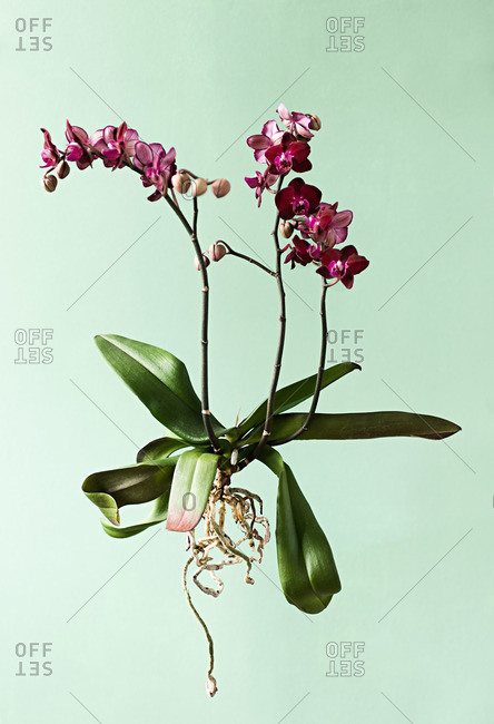 Orchid plants on green background