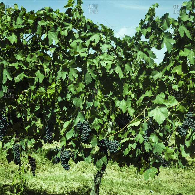 Grapes on a vine at an Italian winery